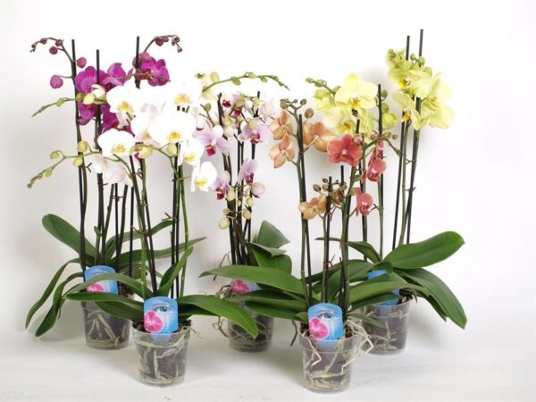 """Орхидея """"Фаленопсис"""" два стебля"""