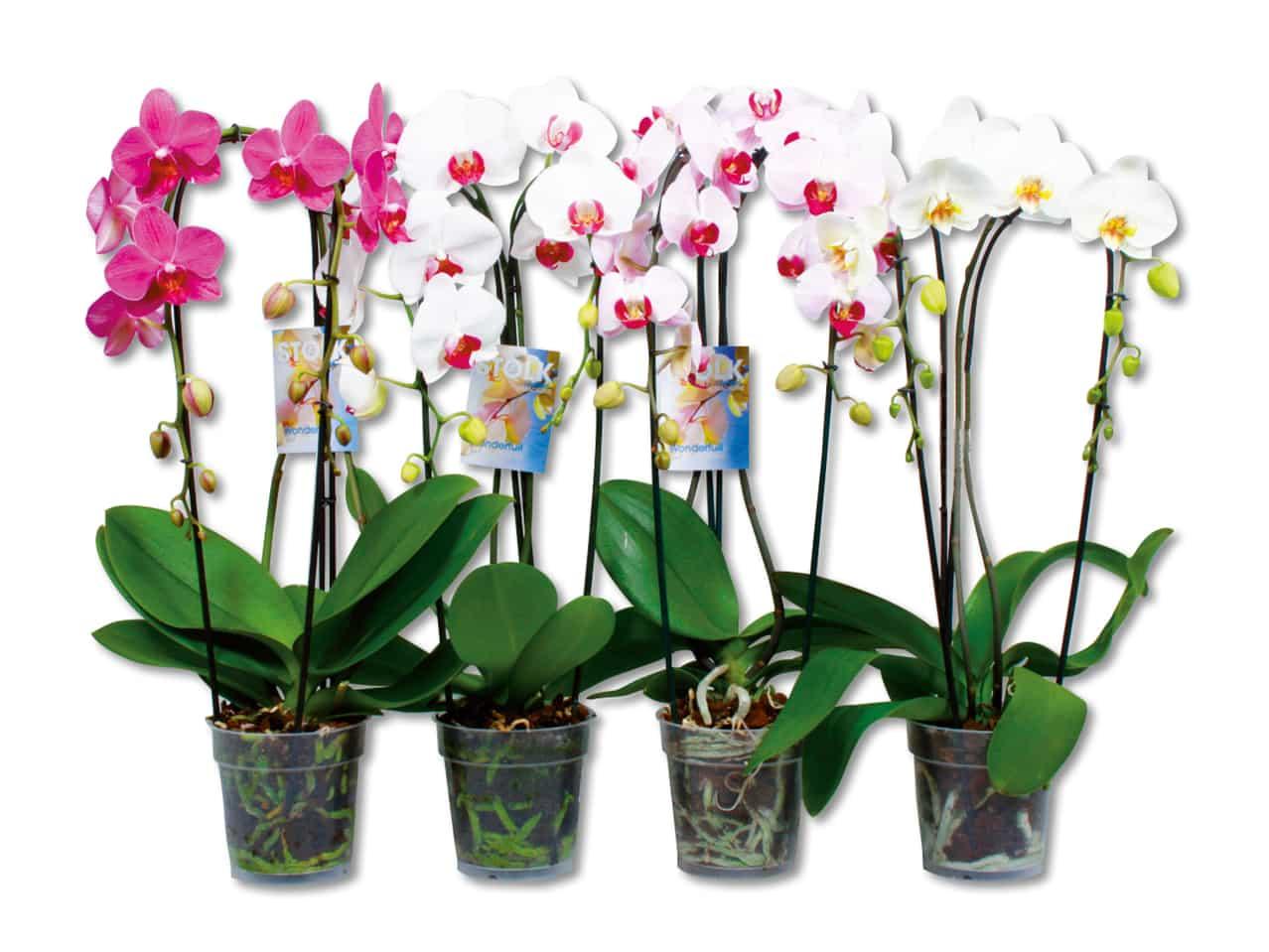 """Орхидея """"Фаленопсис"""" один стебель"""